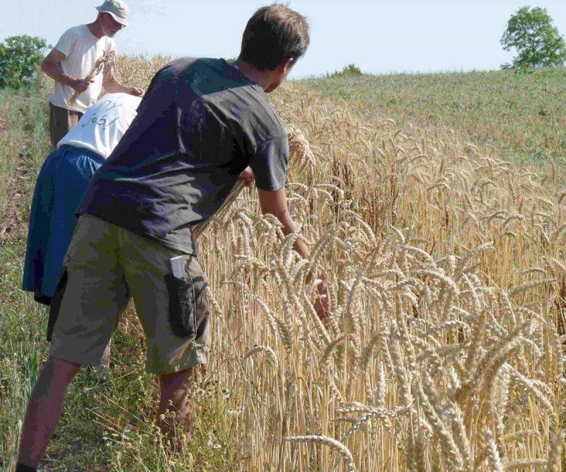Gemeinsame Selektion der Weizenparzellen